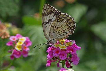 Akdeniz melikesi kelebeği ; Melanargia titea butterfly