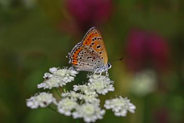 Küçük ateş kelebeği ;  Lycaena thersamon butterfly