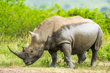 Side view of white rhinoceros at Hluhluwe Imfolozi Park
