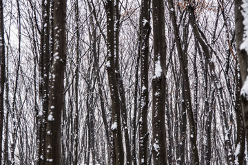Winter forest, snow on the trees