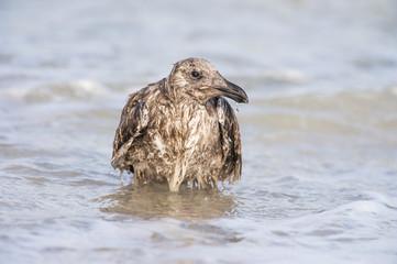 Juvenile Kelp Gull bathing