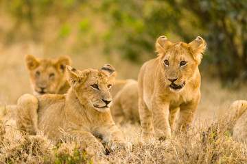 Lion Cubs Waiting For Mother, Maasai Mara