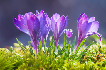 Flowers of blue crocuses on a sunny spring day