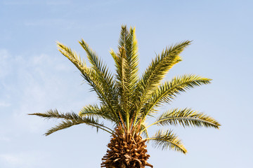 branches of date palms under blue sky. large beautiful green palm branches on a young date palm