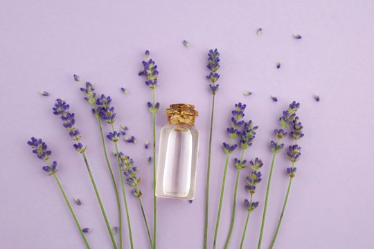 Lavender oil and lavender flowers with seeds on a light  lilac background.Pure Essential Organic Lavender Oil