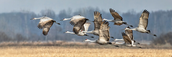 Zelfklevend Fotobehang Vogel Sandhills Take Flight in Indiana