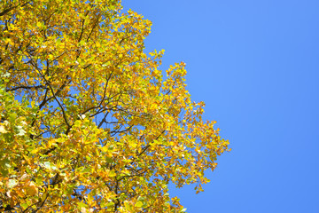 BOLSHOE BOLDINO, RUSSIA - September 20, 2015: Autumn tree in Bolshoe Boldino
