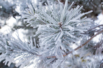 Frozen branches on a pine in the forest in winter