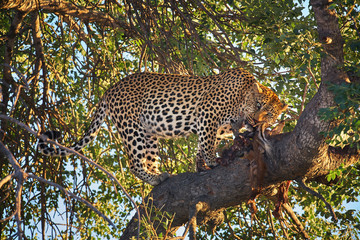 African Leopard, Panthera pardus,  wild big male eating antelope on a tree.  African scene.  Wildlife photography in South Africa. Timbavati, Kruger park.