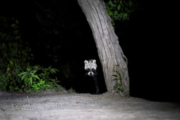 African civet, Civettictis civetta, night photo of wild, largest civet, front view. Illuminated nocturnal african predator staring from night. Wildlife photography in Moremi national park, Botswana.