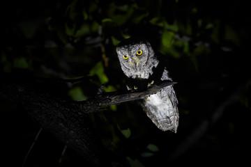 Night, close up photo of night bird, African scops owl, Otus senegalensis, illuminated from the bottom, isolated against dark background. Wild animal photography in Okavango delta, Botswana.