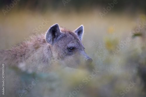 Image of: Safari Spotted Hyena Crocuta Crocuta Wild Animal Portrait Atmospheric View On Hyena Through Grass Wildlife Photography On Self Drive Safari Okavango Delta Fotoliacom Spotted Hyena Crocuta Crocuta Wild Animal Portrait Atmospheric