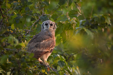 Largest african owl, Verreaux's Eagle-owl or Giant Eagle-owl, Bubo lacteus perched among leaves in late evening, gazing at camera. Wild animal photography, Moremi,  Okavango delta, Botswana.