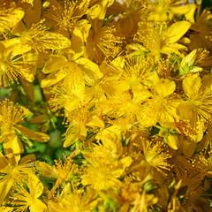Blühendes Johanniskraut, Hypericum perforatum