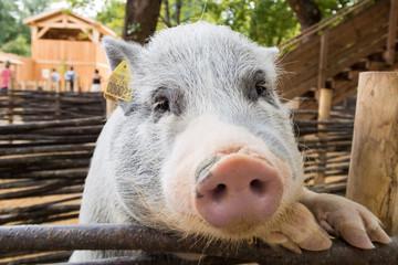 Le portrait du porc