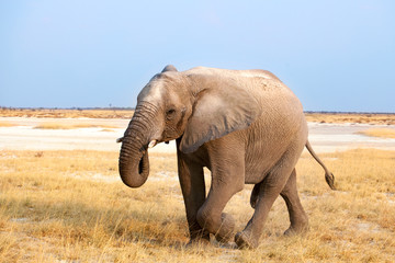 Big male elephant with long trunk walking on yellow grass close up in Etosha National Park, Namibia, South Africa
