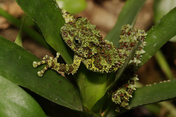 Vietnamese mossy frog on a close up picture. A rare tropical amphibian in its natural habitat showing typical camouflage color.