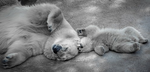 polar bears, mother and baby, closeup
