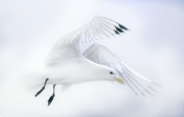 Isolated seagull on white background