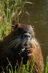 Portrait of the coypu - a large rodent species from America, which is alien in Europe. A mammal inhabiting water and surroundings on a horizontal picture.
