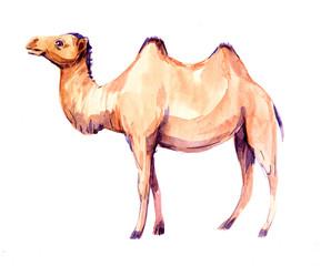 Camel. Watercolor illustration