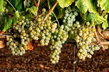 cluster of grape at the vineyard. Alvarino Fototapete