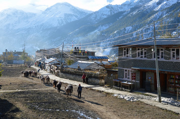Manang, Nepal. A line of pack mules walking through the village of Manang. With the snow covered Himalayas in the background.