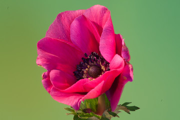 Close up of an anemone in full bloom