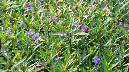 ruellia plants in the garden