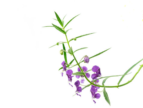 Purple Angelonia goyazensis Benth flower on white background