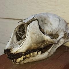 Found Skull