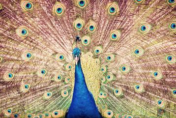 Indian peafowl - Pavo cristatus