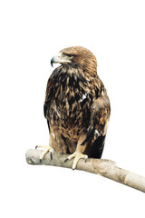 Eagle on white background.