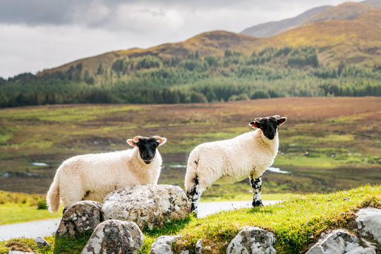 Scottish Blackface sheeps standing in green grasslands surrounded by rough countryside in Scotland