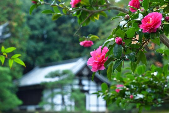 寒椿と寺院 京都