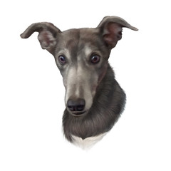 Illustration of a dog isolated on white background. Rampur Greyhound. Dog is man's best friend. Animal collection: Dogs. Realistic Portrait. Hand Painted Illustration of Pets. Design template