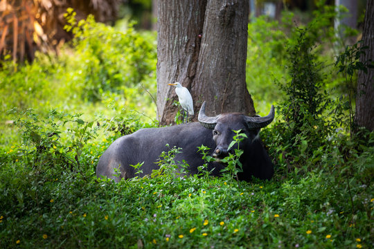 White Bird on  Buffalo in thailand,Life' Machine of Farmer. Original agriculture use buffalo plow the field