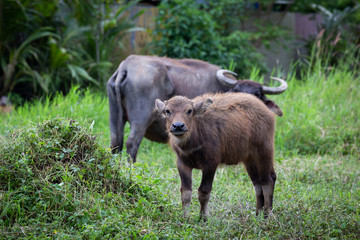 Buffalo and buffalo mothers eat grass in rural farm in Thailand.