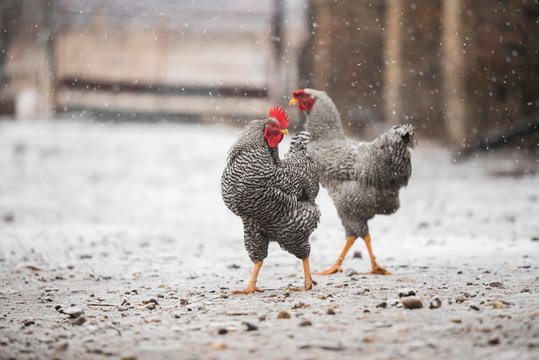 chicken rooster isolated on snow