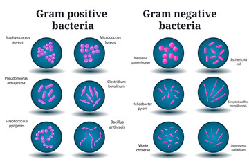Gram positive and Gram negative bacteria. Coccus, bacillus, curved bacteria in Petri dish.