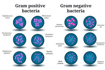 Gram positive and Gram negative bacteria. Coccus, bacillus, curved bacteria in Petri dish.