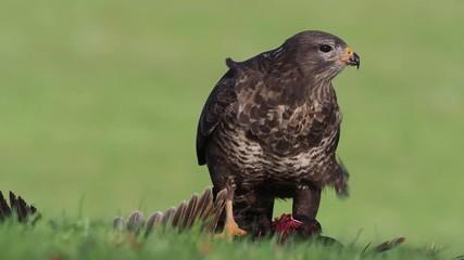 Fotoväggar - Common buzzard, buteo buteo