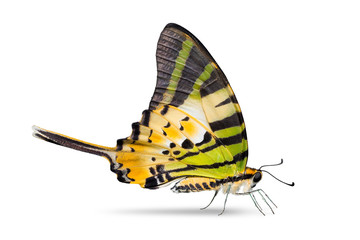 Five-bar Swordtail butterfly