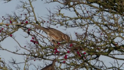 Fotoväggar - Redwing, Turdus iliacus, single bird on Hawthorn berry bush