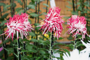 Chrysanthemum Flowers at Hibiya Park in Tokyo Japan