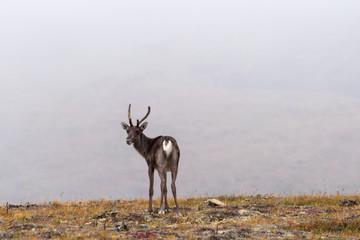 Caribou at the Eagle Summit near Fairbanks Alaska