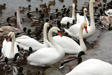 Mass of mallards (Anas platyrhynchos) and Mute swans (Cygnus olor) wintering in city. Krynica Reservoir, Minsk, Belarus