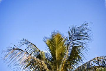 Coconut Palm tree on the clear blue sky gradient color.