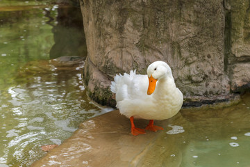 White domestic duck standing in the pond