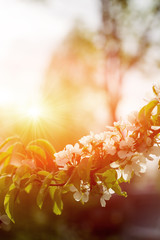 Beautiful Apple Tree Branch With Sun. Shiny Picture Of An Apple White Flowers